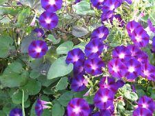 Morning Glory Star Of Yelta 50 Ipomoea Seeds