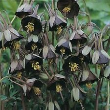 ** Aquilegia / Granny Bonnets / Columbine - Seeds - GOTHIC BLACK Rare Unique **