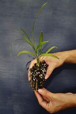 PHOENIX ROEBELENII a40 Palma da dattero nana pianta alv. Pygmy date palm plant