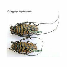 Sternotomis bohemani ferreti - pair, A-