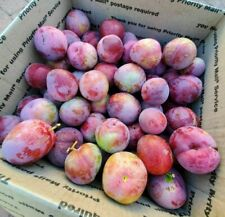 4 Fresh Cuttings of Santa Rosa Plum Tree