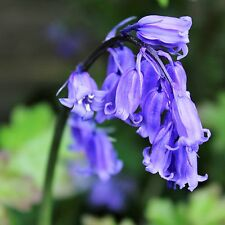 30 x Cultivated English Bluebell Bulbs Hyacinthoides non-scripta. Easy to Grow.