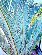 Cycad-RARE Cycas Cupida Blue