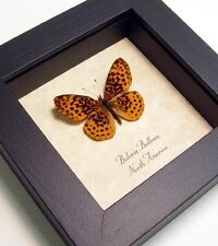 Real Framed Boloria Bellona Male Meadow Fritillary Butterfly 8080