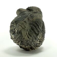 Fossil Trilobite Drotops megalomanicus (EA3052) Devonian. Morocco