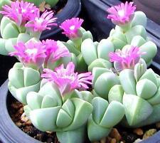 Gibbaeum Petrense, exotic succulent rare ice living rocks mesembs seed  15 SEEDS