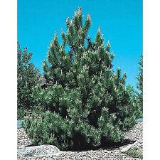 10 Austrian Pine Tree Seeds - Pinus Nigra