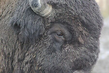 Buffalo Taxidermy Reference Photo Cd