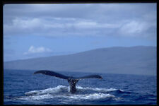 654073 Humpback Whale Tail Hawaii A4 Photo Print