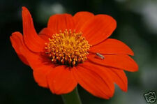 1250mg Mexican Sunflower Seeds ~100ct ~Pretty Garden Flower Plant