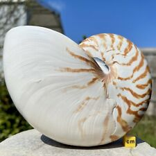 More details for nautilus natural seashell linne worldwide bcr009 ✔100% genuine