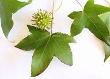 Liquidambar styraciflua (American sweetgum) - 50+ seeds