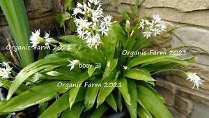 20 x Organic Wild Garlic Bulbs ,Freshly Dug ,Planting now For Next Season !