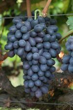 6  Autumn Royal grape non-GMO seeds