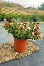 Abelia Grandiflora vaso 17 (OFFERTA 25 piante)