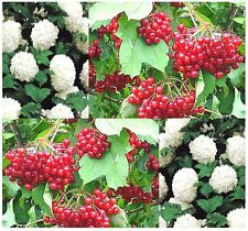 (5) European Highbush CRANBERRY Fruit Seeds - Viburnum opulus - Combined S&H
