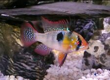 German Blue Ram Tropical  Fish Mikrogeophagus ramirezi 4cm