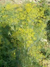 Graines D'ANETH BIO (ni pesticides, ni engrais chimique)
