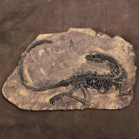 Tyrannosaurus Rex Dinosaur Fossil Jurassic Cretaceous 130 Million Year Old AU