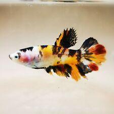 "Live Betta Fish - Female Halfmoon -""Koi Candy Fancy"" Betta High Quality (QJUL35)"