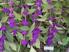 40 American PURPLE BEAUTYBERRY Shrub Flower Callicarpa Americana Seeds *Comb S/H