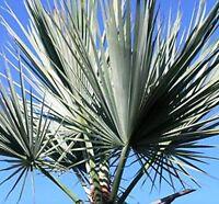 10 Seeds - Silver Rock Palm - Brahea sp. Super Silver