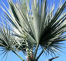 10 Seeds - Silver Rock Palm - Brahea sp. Super Silver