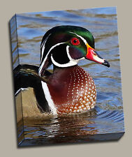 Wood Duck Close Up Gallery Wrapped Canvas Wildfowl Photos by Charlie Bates 16x20