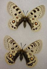 Framed Parnassius szechenyii Set from China Butterfly Display Insect