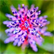 20 pc New giant bromeliad,  rare Bonsai, vibrant turquoise blooms seeds #384