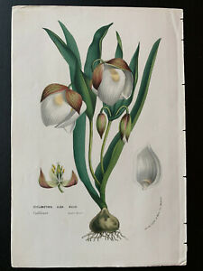 Horto Van Houtteano; Louis Van Houte, Cyclobothra alba, ca 1850