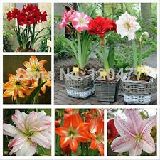 100 Pcs Mixed Amaryllis seeds Barbados lily potted seed, Bonsai balcony flower