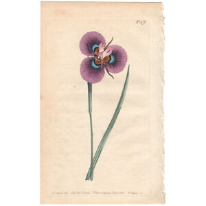 Curtis Botanical antique 1803 hand-colored engraving 571 Hairy Flag