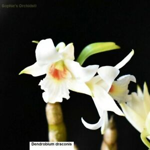 TS1020.37 Dendrobium draconis Bare Root T545