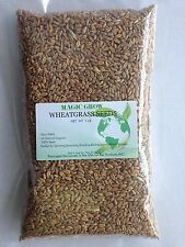 CAT WHEAT GRASS SEED 1LB (13,500 + seeds) - Natural /NON-GMO- !