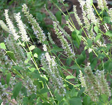 White Hyssop garden border herb plant white flowers summer loved by bees 9cm pot
