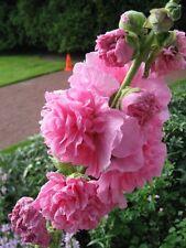 Altea ( Alcea Rosea) Chater's Rosa - 30 Semi
