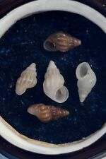 Antique Microscope Slide of Rissoa Parva Shells from Channel Isles