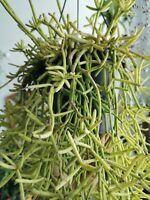 RHIPSALIS BACCIFERA Rare Tropical Hanging Cactus 3 x Stem Cutting 10cm Esquejes