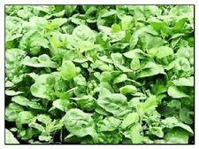 Giant Noble Spinach Seeds | Non-Gmo | Fresh Garden Seeds