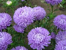 Flower seeds Aster *Blue Moon* annual rare seeds