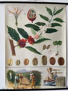 Original Vintage 1964 Jung Koch Quentell Coffee School Chart - Botanical Poster