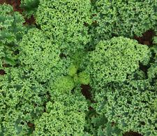 Nr110       Grünkohl niedriger grüner krauser 200 Samen