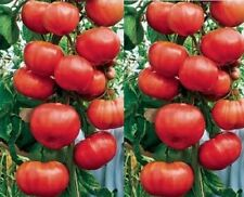 45 Giant Climbing Tree Tomato Seeds. HEIRLOOM ***SAME DAY SHIPPING***