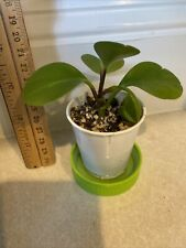"""JADE Peperomia obtusifolia in 2"""" Cup - STARTER Baby Rubber Plant"""