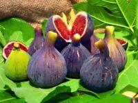 10x4=40 fig tree cuttings ficus carica self fertile