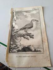 la pie - grieche grise. (bird ) steel engraving 1760