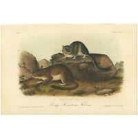 Audubon Octavo Quadruped hand-colored lithograph Pl 29 Rocky Mountain Neotoma