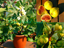 VERY RARE VARIETY: Fig 'Dwarf Panache' (Striped Tiger) Indoor/Outdoor! SEEDS.
