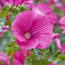 More details for lavatera ruby star tree mallow compact semi-evergreen outdoor garden pot plant
